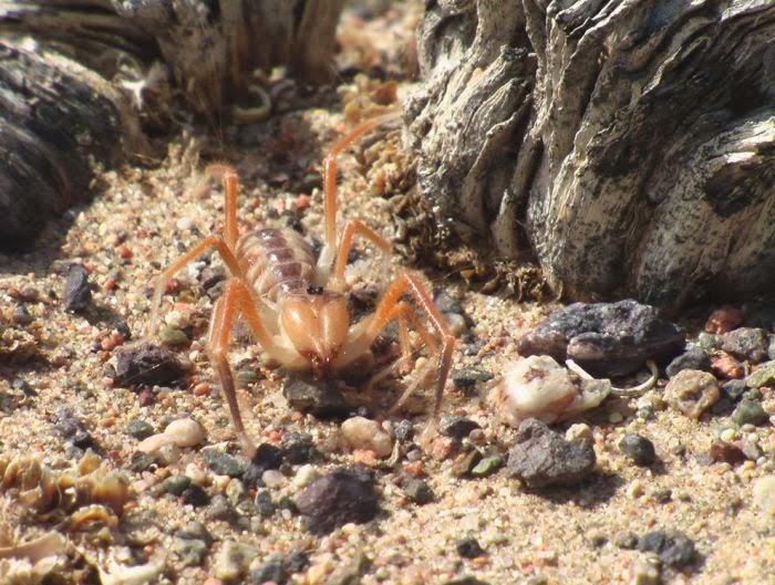 coolpics: Camel Spiders (20 pics)