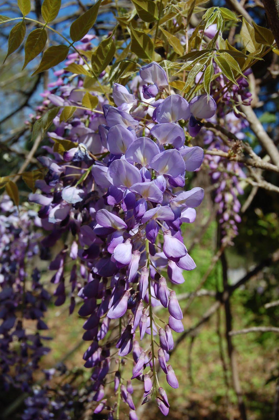 brenda 39 s texas wild garden wild wisteria vine