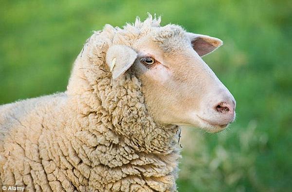 Nội tạng hiến tặng được nuôi trong cừu và lợn