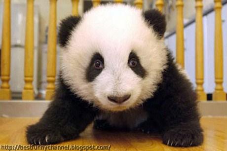 panda bears pictures 7