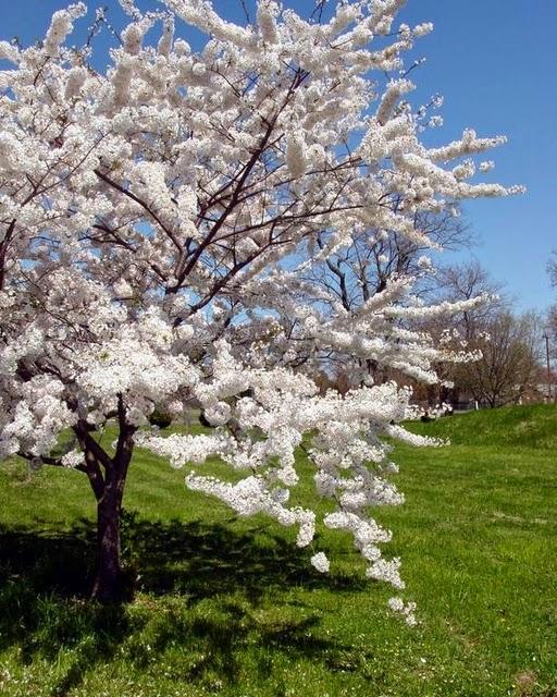 вишня весной картинки