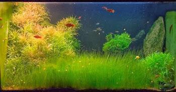 Akvaryum yosun temizleme işlemi