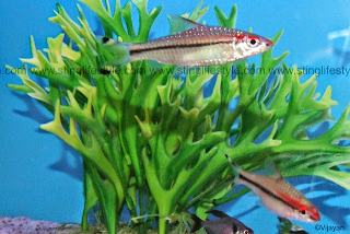 red line torpedo barb fish picture