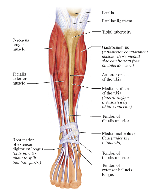 Human Anatomy for the Artist: Anterior Leg, Part 2: It\'s Lonely at ...