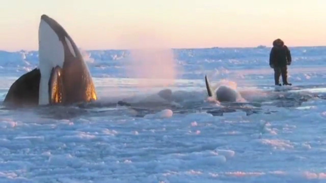 Whale Trapped In An Ice Sheet