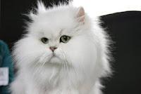 Ras-kucing-Persia