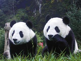 Oso Panda - Ailuropoda melanoleuca