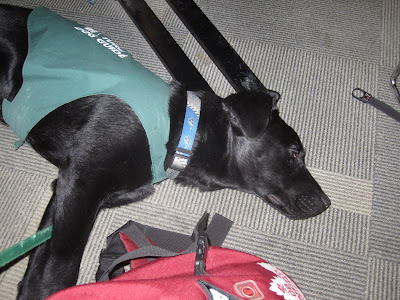 A sleepy black lab puppy Romero in his green future dog guide jacket is lying on his side under a computer desk at the library. Romero's  neck and legs are stretching out and his eye is just barely open. You can see how long his muzzle is in this picture. His green nylon leash is between his front legs and reaching up to the chair where I am sitting. There is a black desk leg just behind Romero's head and the carpet beneath him has thin black and gray stripes. My red backpack is sitting on the floor just in front of Romero - I'm surprised that he isn't using it as a pillow like he usually does.