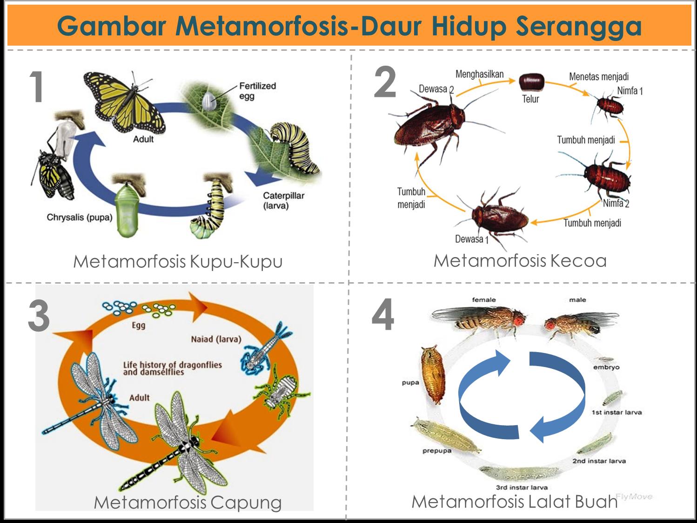 Gambar metamorfosis daur hidup pada serangga dan amfibi freewaremini gambar metamorfosis serangga dan amfibi ccuart Gallery