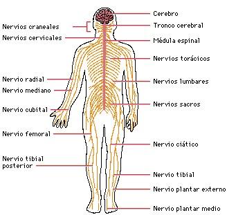 Dibujo del Sistema Nervioso (Señalando partes)