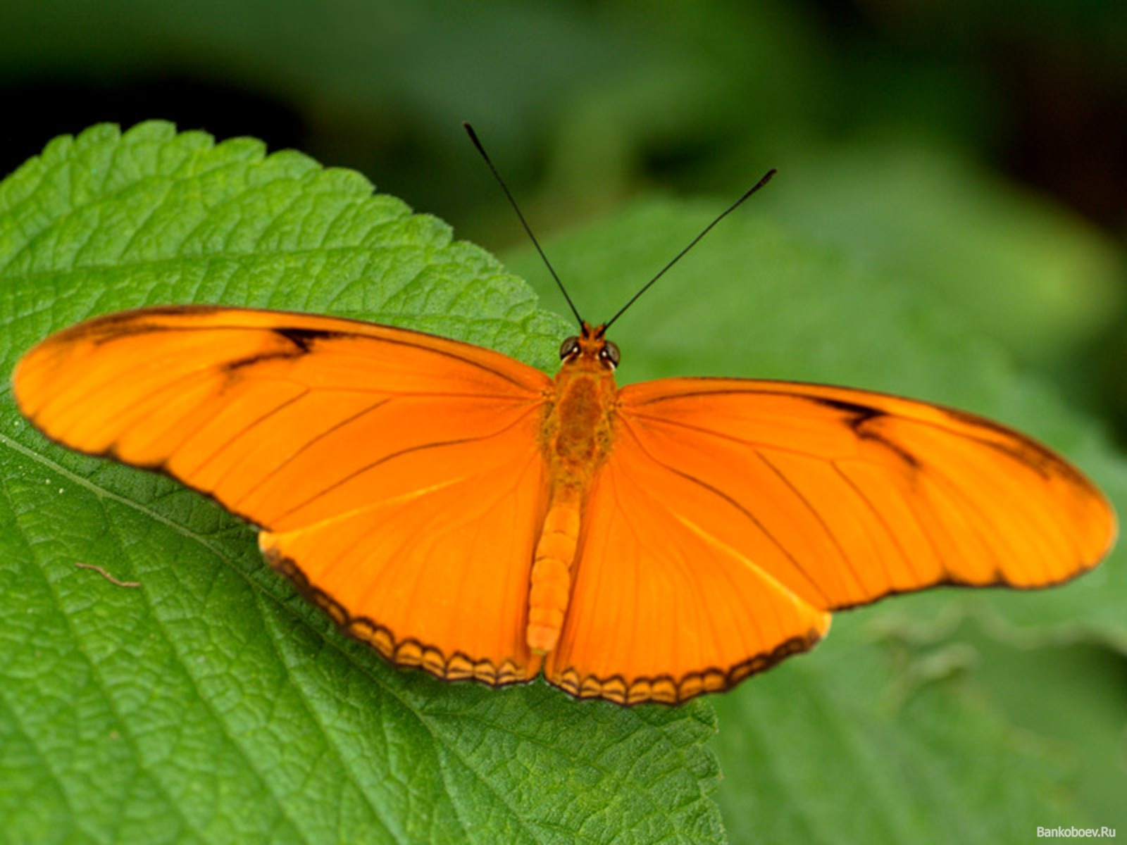 orange butterfly 3 wallpaper - photo #2