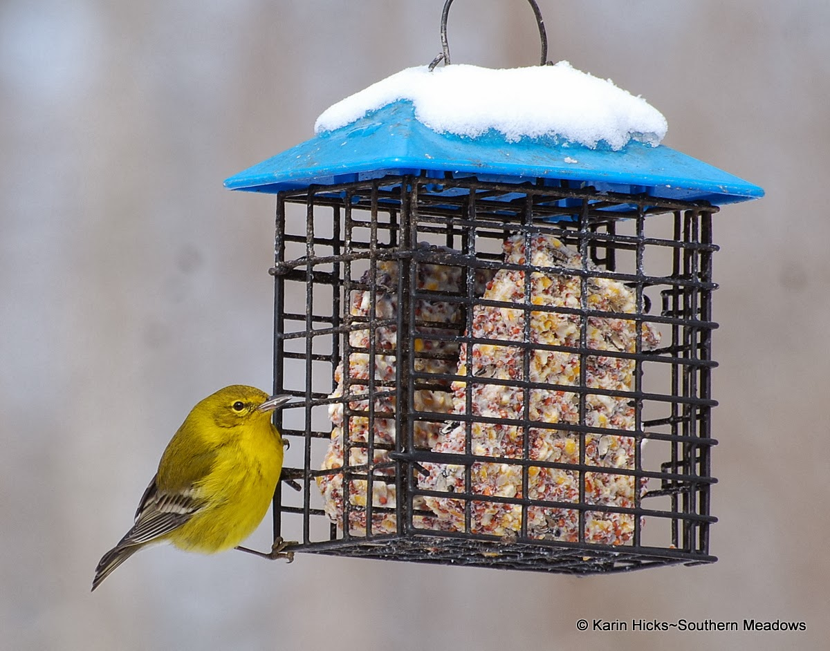 pine warbler in winter