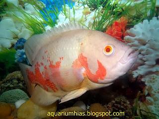 Cara Jitu Membentuk Warna dan Batikan Ikan Oscar