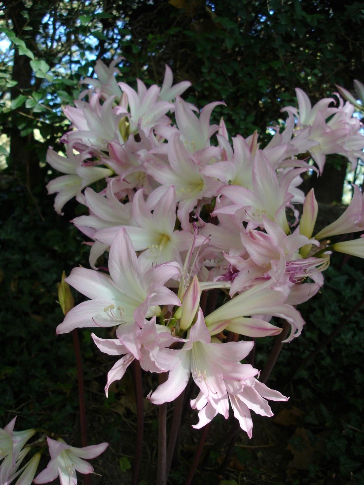 Jard n y planta cultivada amaryllis belladona azucena rosa for Azucena plantas jardin