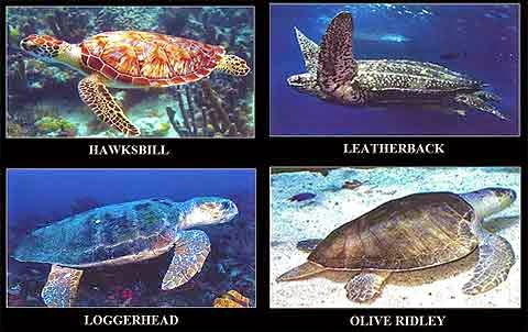 Sea turtles in the Philippines