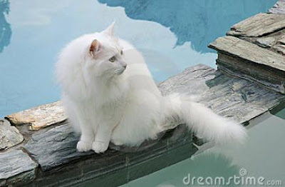 Foto Kucing Anggora 03