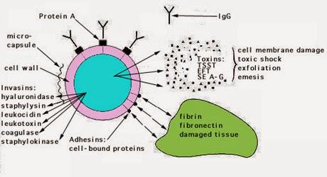 Yếu tố quyết định độc lực của Staphylococcus aureus
