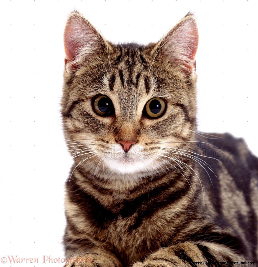 Tabby cat39s face photo   WP02395