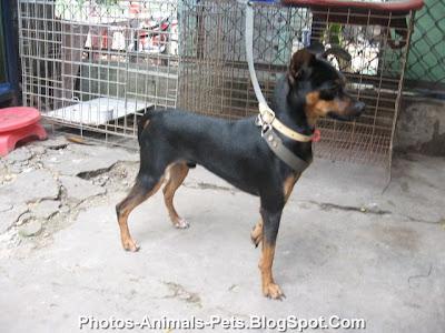 http://3.bp.blogspot.com/-9F3RvyNd16o/Tf9sXVZ8cdI/AAAAAAAABZs/zLVWnsEHLOM/s400/miniature%2Bpinscher%2Bdogs_0006.jpg