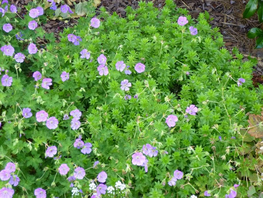Garden of Aaron Groundcover Review Sweet Woodruff Galium odoratum