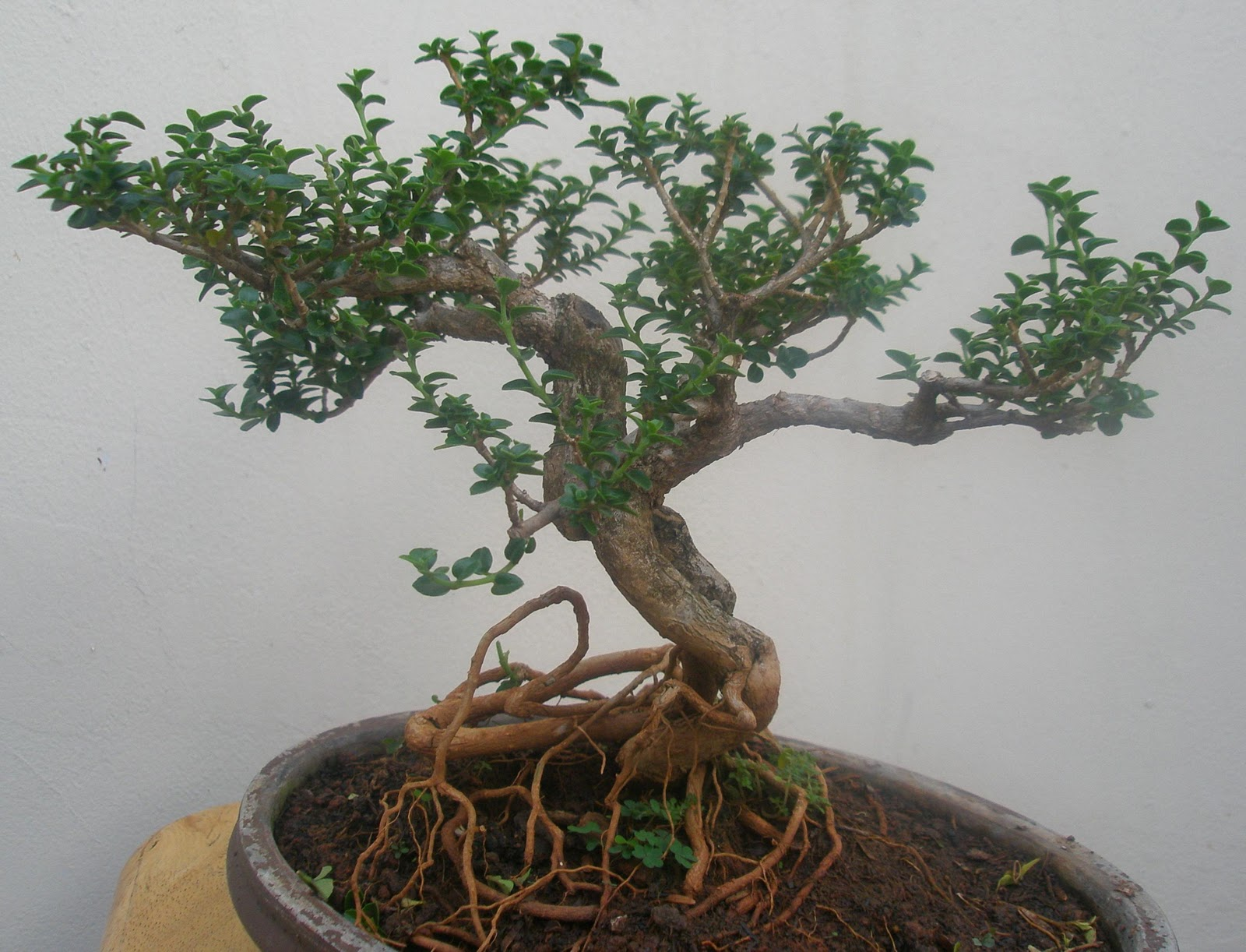 Art Hrbonsai