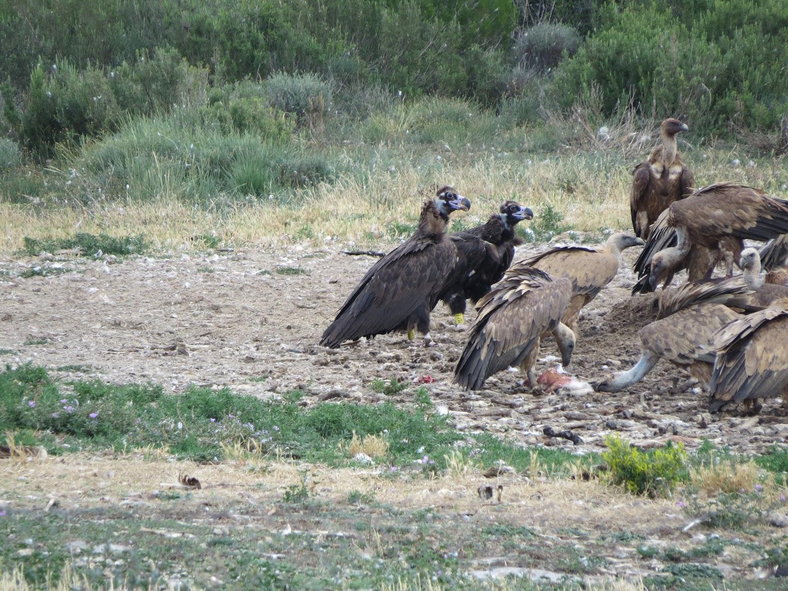 Buitres negros (Aegypius monachus) marcados Comedero de Baélls (Huesca), perteneciente a la red RACAN 25 de junio de 2015 Fotografía: Eloy Alfaro (APNs Gobierno de Aragón)