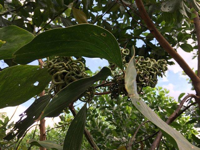 Giật mình gặp trái lạ như búi rắn lục ở rừng Quảng Ngãi