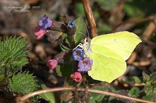 Citromlepke orvosi tüdőfű virágzatán (Gonepteryx rhamni - Pulmonaria officinalis)