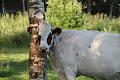 Lehmän elämää