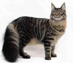 maine coon cat breed maine coons can grow to become high quality wallpaper