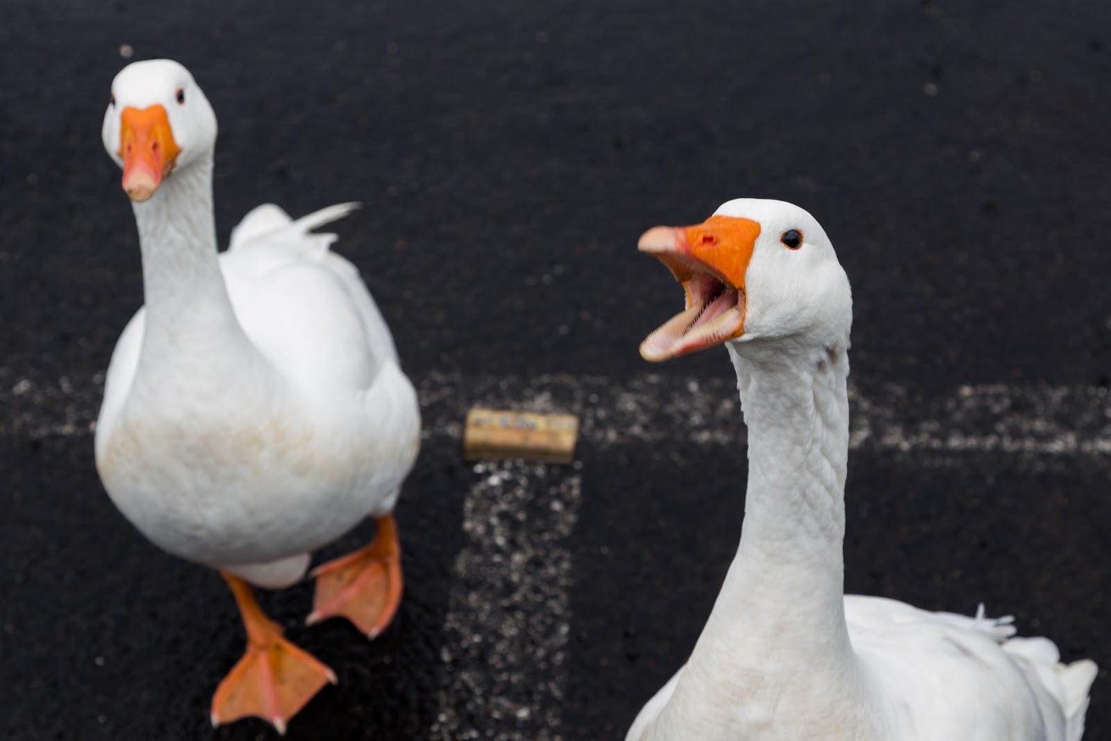 geese at lake daylesford