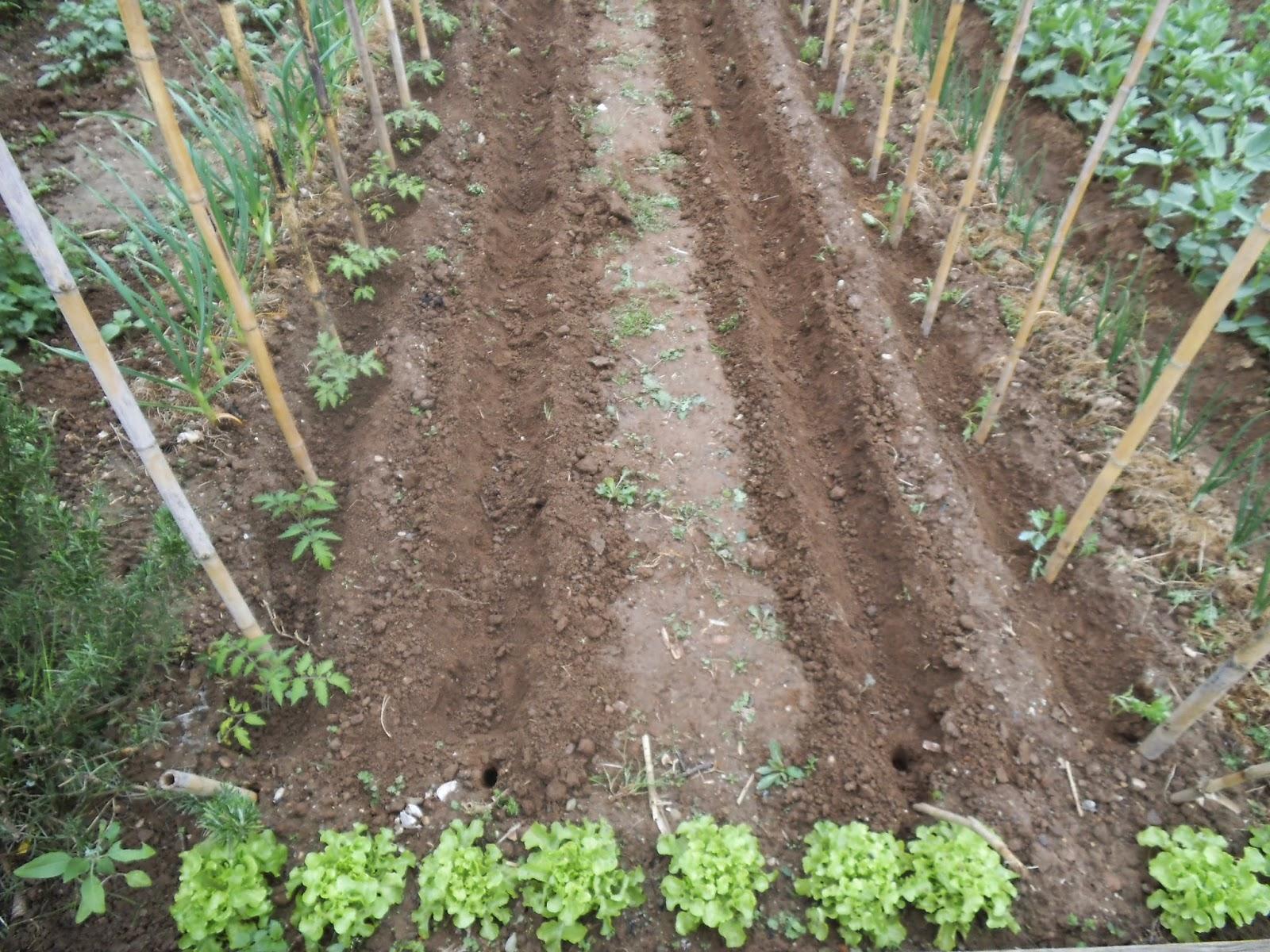 Ortomiraflores trapianto di pomodori for Piantare pomodori
