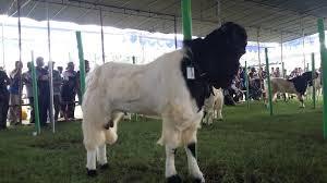 Kambing Etawa Penghasil Susu Dan Daging