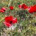 Ünlü Ressamın Tablosu Gibi Duran Gelincik Dolu Bahçe