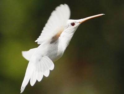 E' arrivata la Primavera, Foto Colibrí albino