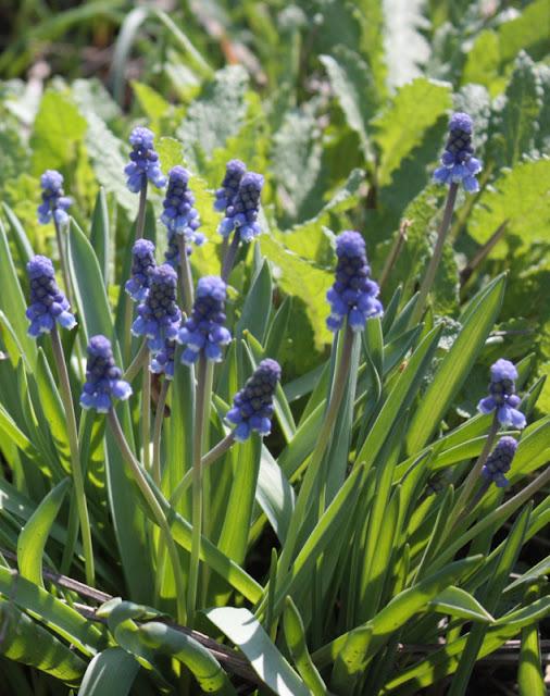 Muscari spring Lurie Garden