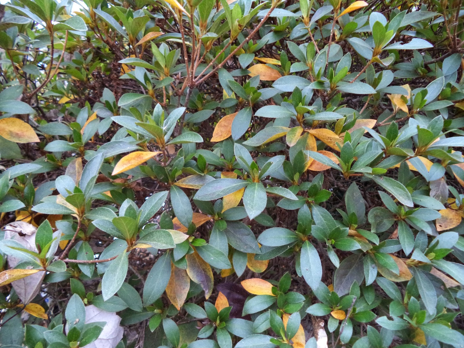 Uga extension in cobb county azalea leaves turning yellow dropping azalea leaves turning yellow dropping mightylinksfo