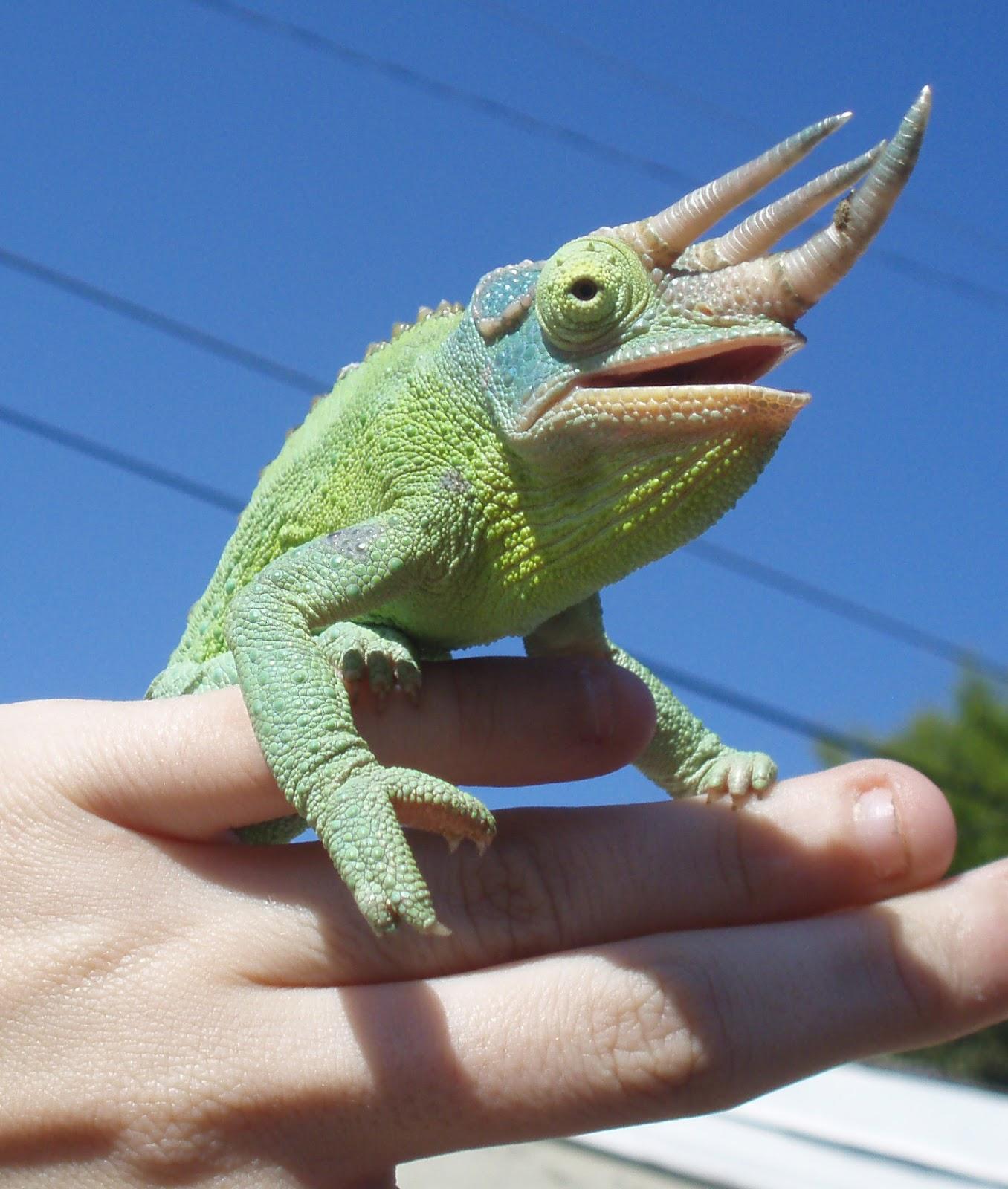 Chameleon Horns: Choosing The Species Of Your First Chameleon