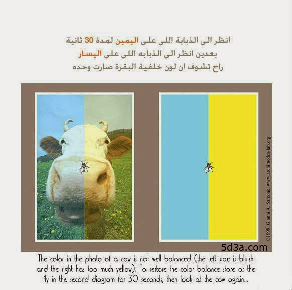 fly-caw-optical-illusion-خدعة الذبابة والبقرة - خدع بصرية