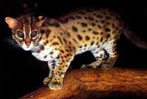 Gambar Kucing Hutan Sang Leopard
