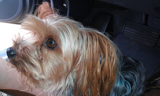 My sister Jennifer's Yorkie, Ringo - July 16, 2011