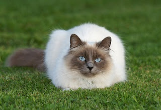 Birman Cat Pictures