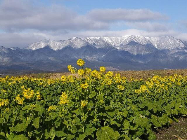 霊峰の比良の山々と菜の花畑。