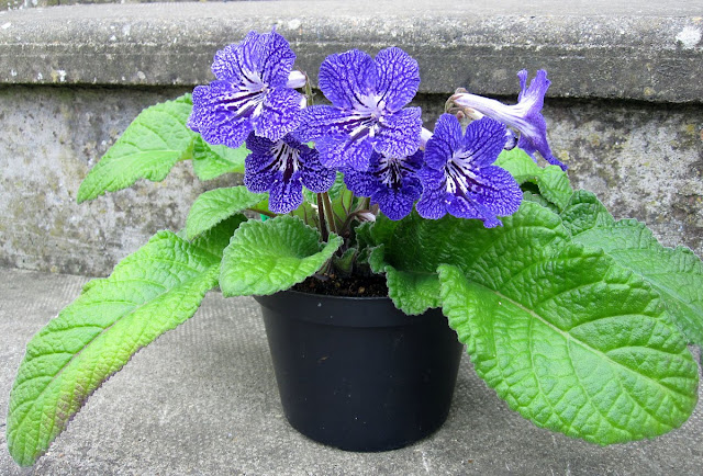 Streptocarpus Margo, grown from a starter plant in August 2010.  6 May 2011.