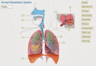http://www.neok12.com/diagram/Respiratory-System-01.htm