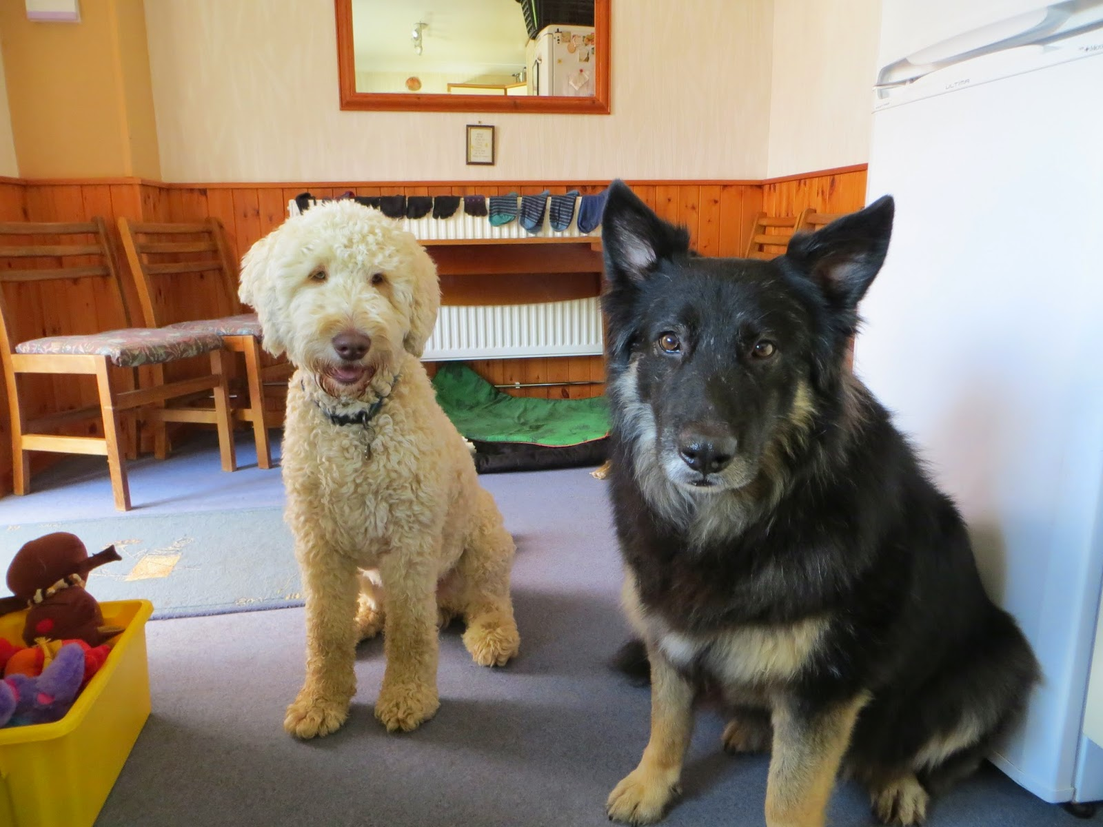 Labradoodle Suny and Collie/Shepherd Trojan