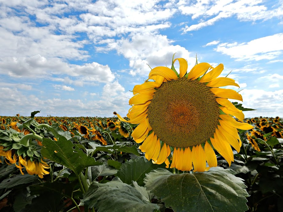 Sunflower from the Sunflower State