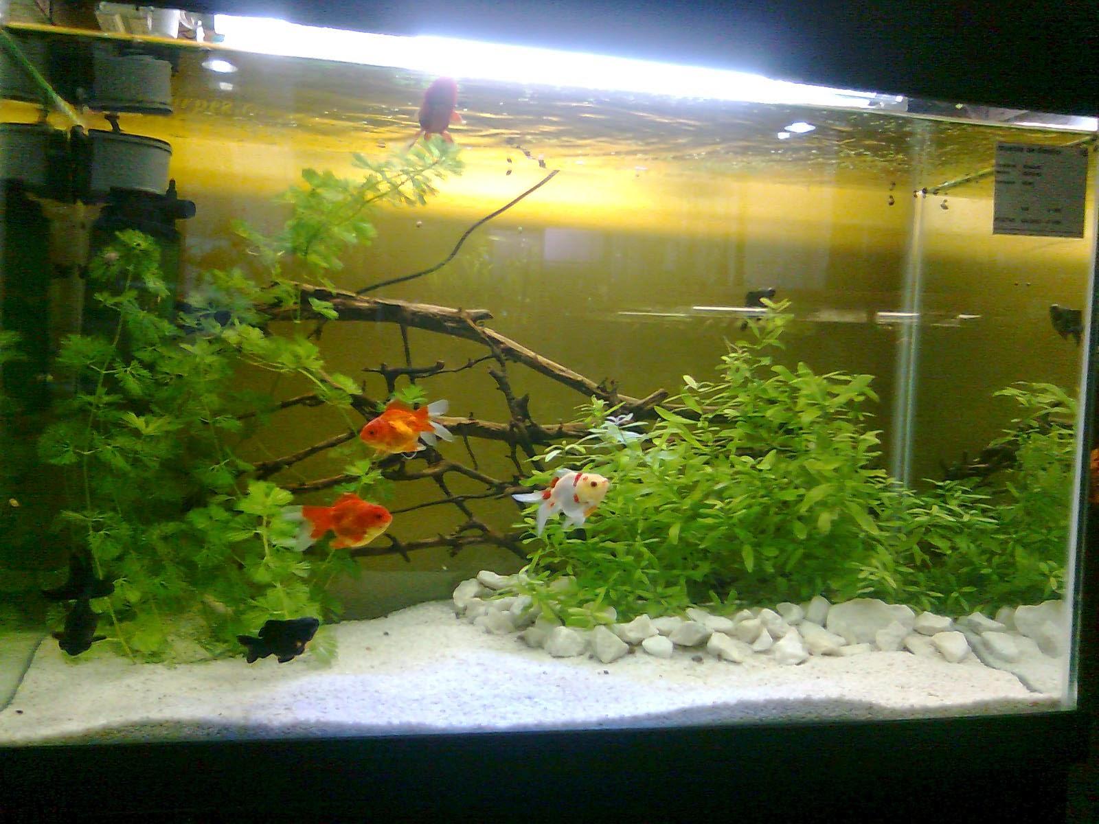 Acuarios decorpez gu a de peceras for Los mejores peces de agua fria
