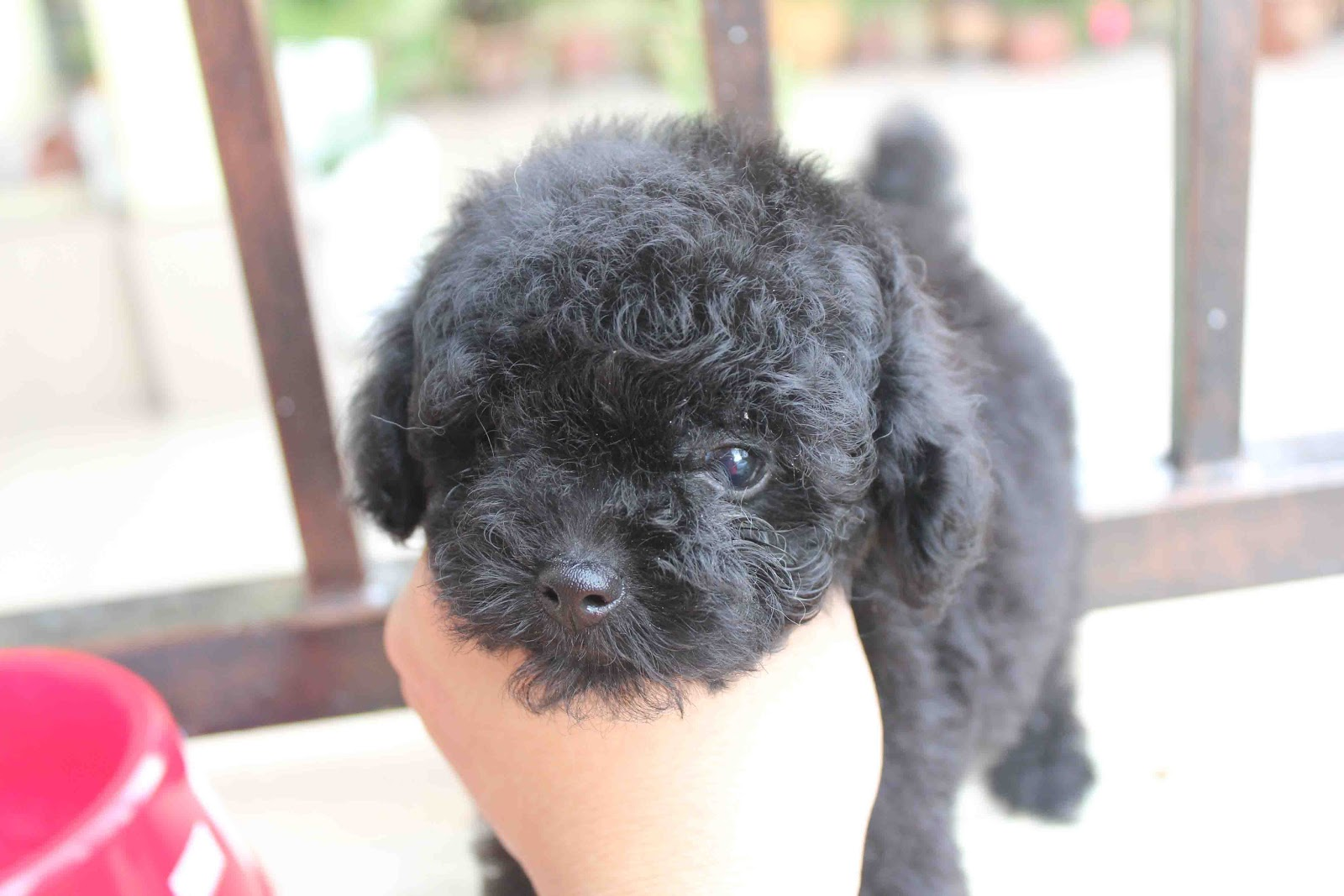 Black Teacup Poodle Full Grown Super black tiny toy poodle@