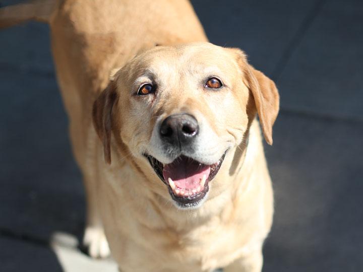 Cute Dogs: Yellow Labrador Retriever